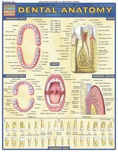Dental anatomy chart Fun Dental Fact brought to you by East Madison Dental! Nurses Bring Comfort Business Card Witty Oral Health Tooth Brushing Blue Dental Surgery Food Wisdom Teeth Removal Breakable Oral Health At Home … Dental Assistant Study, Dental Hygiene School, Dental Life, Dental Humor, Dental Teeth, Dental Hygienist, Dental Implants, Rda Dental, Teeth Braces