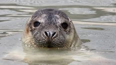 Halli on Itämeren suurin hylje Tieto, Halle, Animals, Animales, Animaux, Hall, Animal, Animais