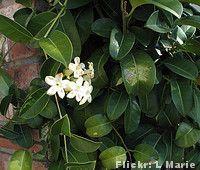 Jasmim de Madagascar (Stephanotis floribunda)