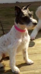 Hailey special needs is an adoptable Schnauzer Dog in Uniontown, OH. Hailey came to us as a bouncy young parti schnauzer girl. She is very playful, happy and puppy-like. She is good with mature kids a...