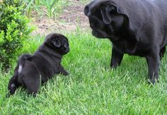 Cute Black Pug Puppy & Mother