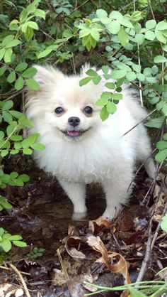 Coco!! Pomeranian puppy!!! Diamond Are A Girls Best Friend, Mans Best Friend, Best Friends, White Pomeranian, Pomeranian Puppy, Dog Pounds, Cute Puppies, Pomeranians, Your Dog