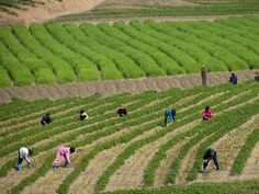 Many of the rural citizens in this area of North Korea work on farming collectives.