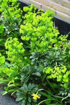 Euphorbia amygdaloides var.' robbiae'  (Wood Spurge) - This is a tough groundcover for dry shade. Evergreen rosettes of foliage give rise to chartreuse outer-space-like blooms in spring.