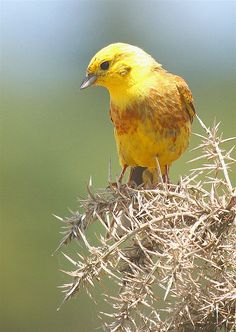 Yellowhammer-Alabama State Bird