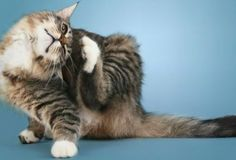 Cat Care Tips Learn to recognize common skin conditions in cats in this WebMD slideshow. See pictures of feline acne, allergic dermatitis, mites, bacterial infection, and more. Cat Care Tips, Pet Care, Pet Tips, Cat Ear Mites, Cat Skin Problems, Cat Diseases, Cat Health Care, Allergic To Cats, Photo Chat