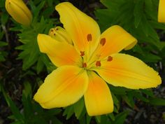 Asiatic Lily - My Humble Home and Garden