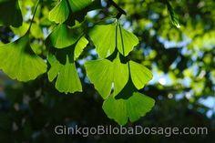 Benefits of Ginkgo Biloba for health | ginkgobilobadosage.com