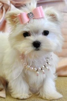 Dog fashion and jewlery -Little white dog wearing pearls and a pink bow barette.