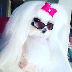 Classic accessories make the girl!  Ella in her new sunglasses! #maltese #hairbow @MiaLilyElla&Brooke on IG