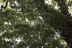 Meidoorn in Ter-Wupping
