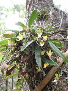Gunn's Orchid- Sarcochilus australis