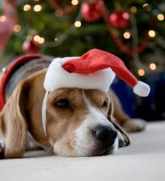 Beagle waiting for Santa