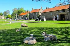 I was amazed by the sheep right  out on the village green: Hutton-le-Hole village green