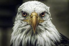 Messagers : Une légende amérindienne raconte que le Peuple des Oiseaux serait le messager pour les terriens qui le désirent. L'oiseau par sa vision