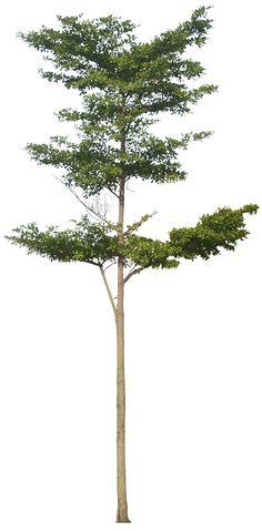 20 Imágenes de árbol PNG - terminaliamantaly02L