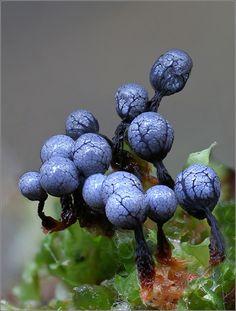 Cribraria argillacea ein schleimpilz mit besonderer farbe..... größe ca 1,5-2 mm