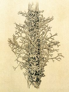 Alexander Ross, Drawing, Lichen 1942,  photo by Alfred Cossman