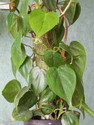 Filodendro, Filodendron, Filodendro de hoja acorazonada -Philodendron scandens-