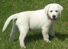 white lab breeder