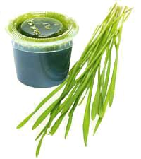 Benefits of Wheatgrass: Increases red blood-cell count and lowers blood pressure. Stimulates the thyroid gland. Restores alkalinity to the blood. Is a powerful detoxifier, and liver and blood protector. In the case of illness, wheatgrass implants stimulate a rapid cleansing of the lower bowel and draw out accumulations of debris. Enhances your bath. Turns gray hair to its natural color again and greatly increases energy levels when consumed daily.