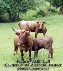 American Livestock Breeds Conservancy: Dexter Cattle -small heritage breed known for high quality meat and milk-products Meat Chickens Breeds, Chicken Breeds, Dexter Cattle, Mini Cows, Dairy Cattle, Small Farm, Small Breed, Livestock, Farm Animals