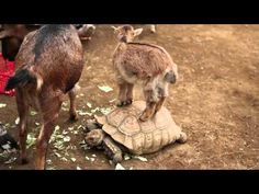 Baby Goat Rides The Tortoise