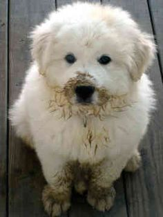 """Well you see first I stepped in something wet and then I smelled it. They loved mud. Pyrenees Puppies, Great Pyrenees Puppy, Corgi Puppies, Cute Puppies, Cute Dogs, Dogs And Puppies, Doggies, Animals And Pets, Baby Animals"
