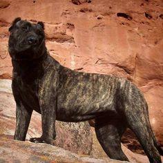 77 Best Perro De Presa Canario Images Canary Birds Dogs Doggies