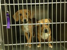 BECKLEY W.V....Adorable dachshund mixes!!!! URGENT! PLEASE FOSTER/ADOPT ASAP!!!! Petfinder.com is the world's largest database of adoptable pets and pet care information. Updated daily, search Petfinder for one of over 300,000 adoptable pets and thousands of pet-care articles!