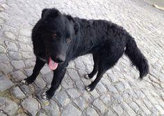POZZUOLI (NA): SMARRITO IGOR/DRAGO, CANE NERO DI GROSSA TAGLIA http://www.terzobinarionetwork.com/2015/06/pozzuoli-na-smarrito-igordrago-cane.html