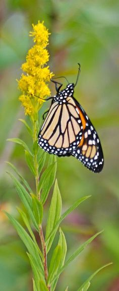 ~~Monarch Butterfly And Goldenrod  by Michael Peychich~~