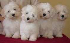 FLAMENCOTON - Coton de Tulear - Litter B.  Awwwh.  one of my favorite breeds.  beautiful babies.