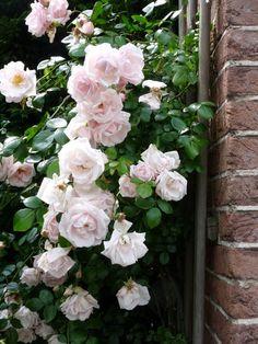 Rosa 'New Dawn' (klimroos) New Dawn Climbing Rose, Climbing Roses, Beautiful Roses, Beautiful Gardens, Rose Garden Design, Interior Garden, Farm Gardens, Flowering Trees, Garden Styles