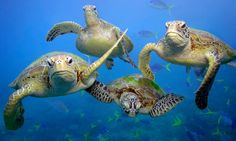 * Save the Great Barrier Reef * Green sea turtles off Queensland, Australia, by Troy Mayne / WWF Turtle Love, Green Turtle, Funny Animal Pictures, Funny Animals, Cute Animals, Wild Animals, Great Barrier Reef, Amphibians, Reptiles