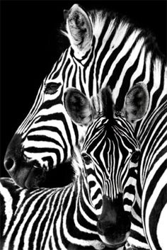 Zebra- Posters from AllPosters.com