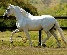 Mangalarga Marchador stallion, Favacho Diamante.