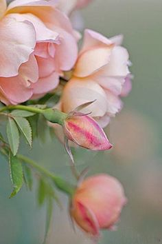 Photo about Excellent image of pink roses at varying stages. Image of rose, flowers, gardening - 7419219 Love Rose, My Flower, Pretty Flowers, Pink Flowers, Edible Flowers, Exotic Flowers, Pink Peonies, Colorful Roses, Pastel Flowers