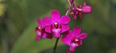 Doritis pulcherrima - floração sequencial