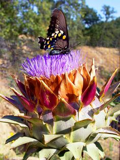Artichoke and Butterfly (not an article - Fine Art America selling prints)
