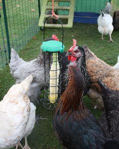 Great resource on chicken health and behavior.