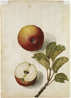 apples by jacques le moyne des morgues, (c.1575)