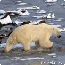 Polar bears are iun serious danger of going extinc due to global warming