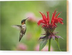 Male Ruby-throated Hummingbird Hovering Near Flowers Wood Print by Christina Rollo.  All wood prints are professionally printed, packaged, and shipped within 3 - 4 business days and delivered ready-to-hang on your wall. Choose from multiple sizes and mounting options.