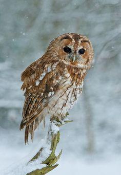 Tawny Owl Source: Flickr / mattbinstead