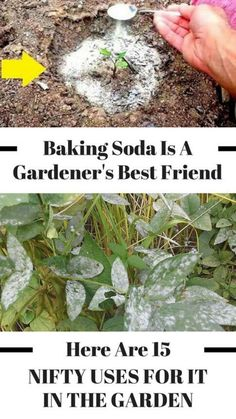 There are so many great uses for baking soda in the garden! These gardening hacks are perfect for any gardener - beginner or advanced! these baking soda tips for gardening and bring your DIY garden to the next level!
