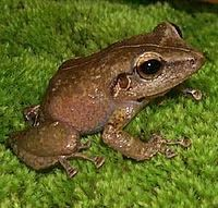 "The Coqui is a tiny frog found everywhere on the island and is an ""unofficial national symbol"". There was a legend that stated that this tiny frog would not sing if it left the island. The myth has been busted! The frog has spread to some of the Hawaiian islands when it was introduced by mistake in some plants in the last couple of years whre ironically, they are considered a pest."