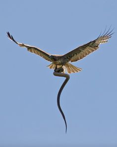 serpent and red tailed hawk
