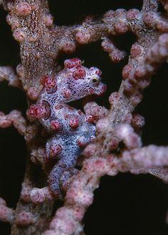 Pink Pygmy Seahorse | Flickr - Photo Sharing!