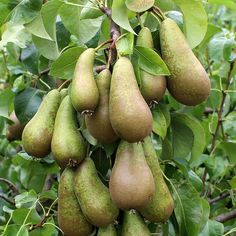 Mail Order Trees Pear Varieties And Shrubs Online Pears